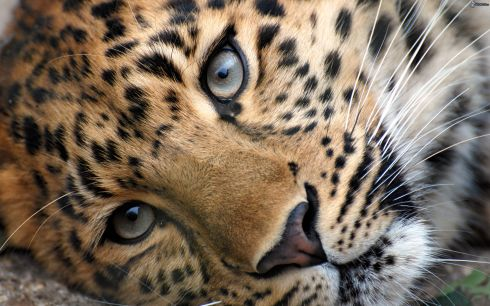 [immagini.4ever.eu] leopardo 165944